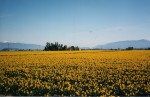 Fields of daffodils taken in Pacific Northwest. H. Clark collections.