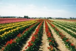 Rows of tulips in Pacific Northwest fields. H. Clark collection.